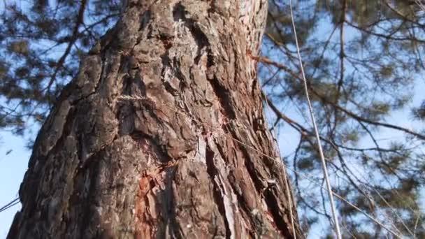 Alsó kilátás a fatörzs és kéreg egy fenyőfa