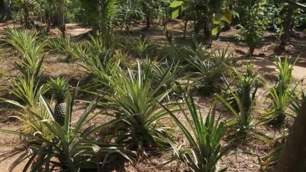 Pěstování ananasu na Ananasové rostliny. Křoví ananas přirozeně roste.