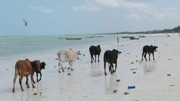 Herde afrikanischer Buckelkühe wandert am Sandy Tropical Beach by Ocean, Sansibar