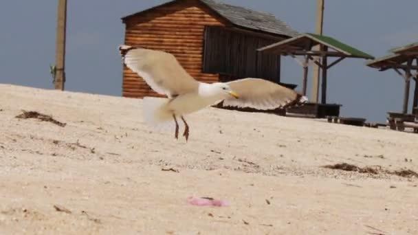 Leszállás a strandon, sirály majd szárnyal az égbe.