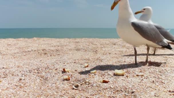 sirályok a strandon csoportosul az élelmiszer-, kiabált egymással, és enni a kenyér