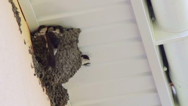 Fecske csibék a fészekben. Fecske etetés csajok.