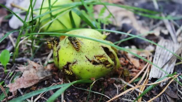 Vadon élő állatok Raj darazsak enni rothadt körte vagy alma a földön