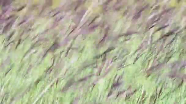 Luční trávy v poli kymácí ve větru