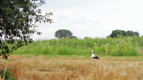Čáp na pole