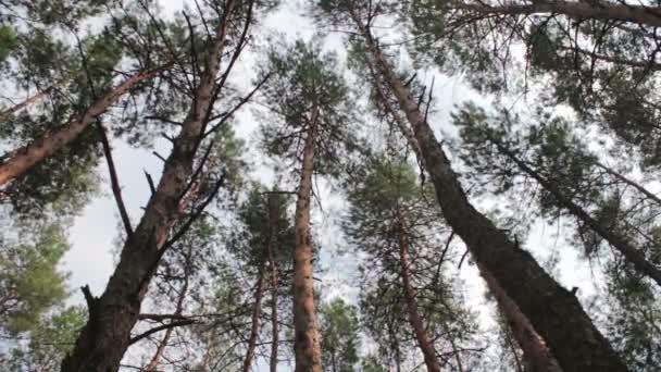 Fenyők, a fenyves erdő.