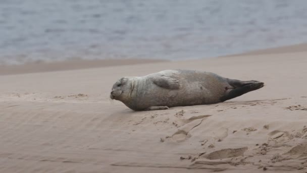 A cute Common Seal pup (Phoca vitulina) lying on a sandbank at low tide in Scotland.
