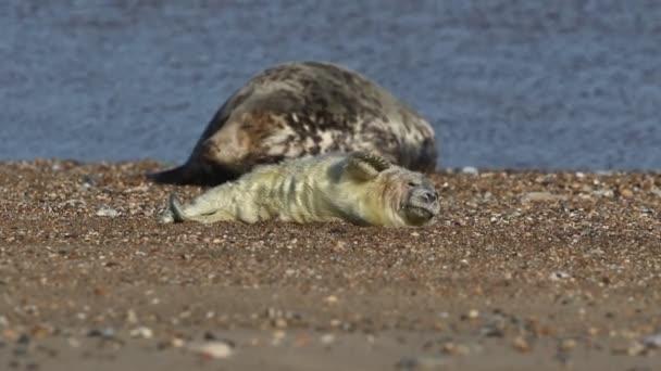 Ein niedliches neugeborenes Kegelrobbenbaby, Halichoerus grypus, liegt am Strand in der Nähe seiner ruhenden Mutter.