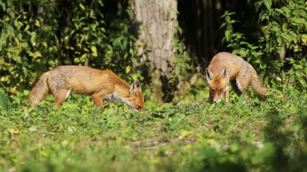 Stunning Wild Red Foxes (Vulpes vulpes) feeding in a field at the edge of a wood have an altercation.