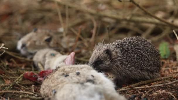 Egy fiatal sündisznó (Erinaceidae), amely egy vadnyúl teteméből táplálkozik..
