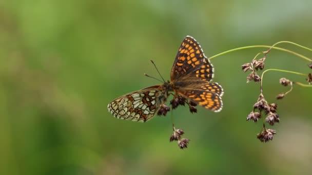 Két lenyűgöző bemutató ritka Heath Fritillary Butterfly (Melitaea athalia) ül egy növény orrát az orrát a szárnyait kitárt.