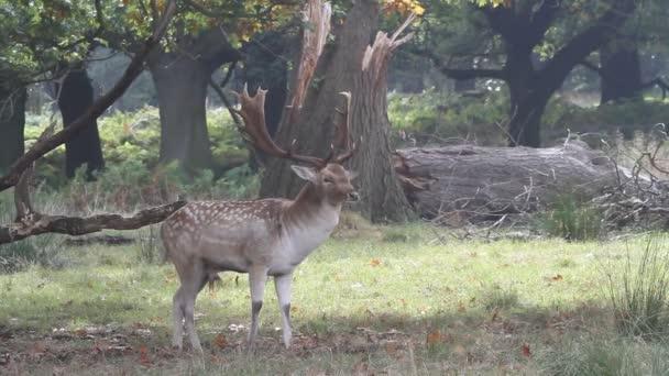 A Fallow Jelení jelen (Dama dama) stojící v zalesněné oblasti během období vyjížďky.