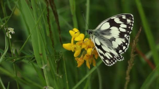 Ohromující nově se objevil mramorovaný bílý motýl (Melanargia galathea) odpočívající na krásné žluté květy.