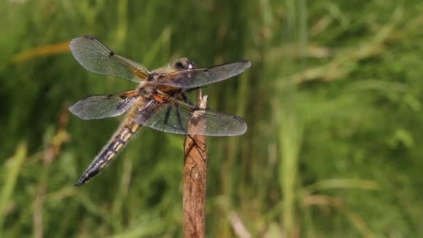 Egy csinos négypöttyös Szitakötő, Libellula quadrimaculata, rovarokra vadászva repül fel és le egy növénytörzsön..