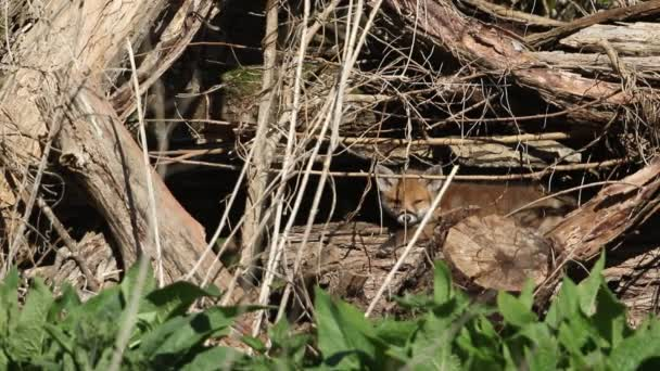 A cute sleepy Red Fox Cub, Vulpes vulpes, watching what is going on around it lying on a decaying log pile close to its den.