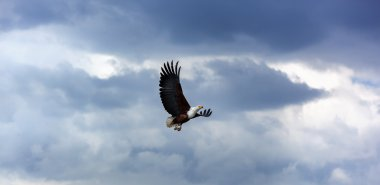 Bald eagle in the sky, eagle, flying, blue, sky, nature, above, clouds, flight