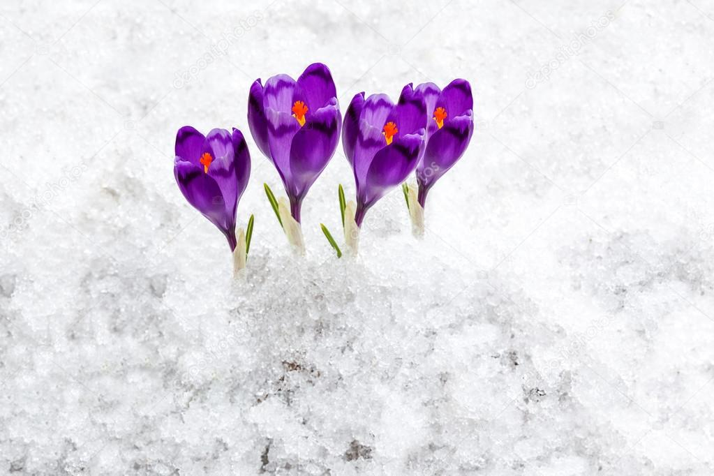 forest, nature, beauty, crocus, purple, spring, saffron, crocus, purple, spring, saffron, flower, nature