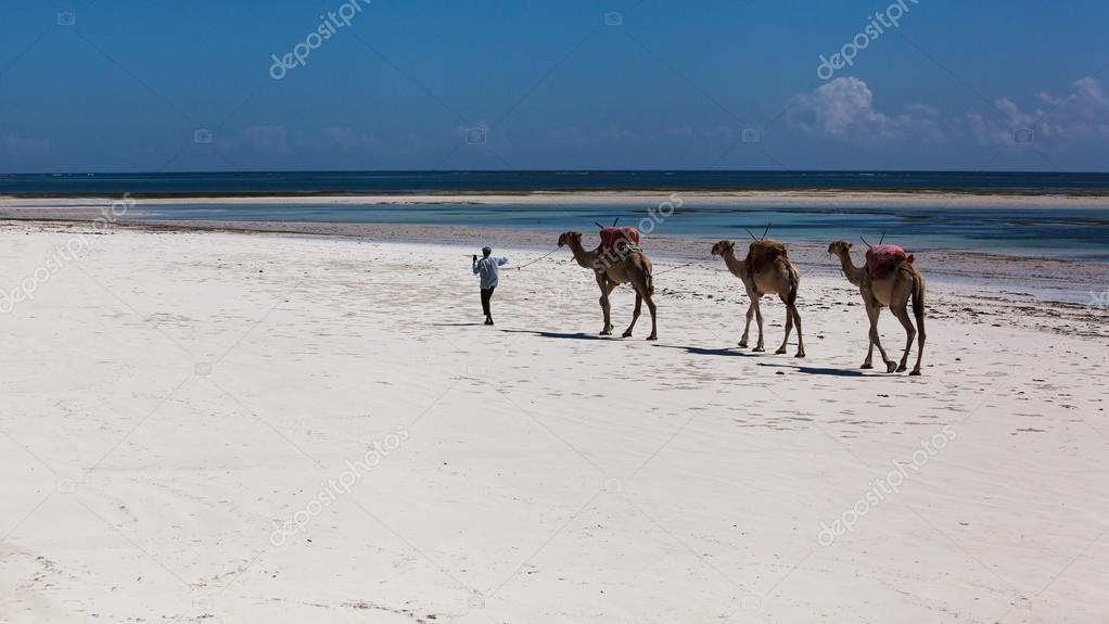 camels are on the beach