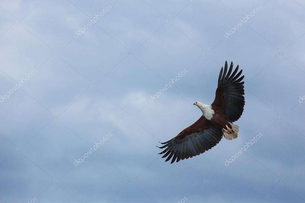 Bald Eagle In The Sky Flying Blue Nature Above Clouds Flight Photo By Oleg0
