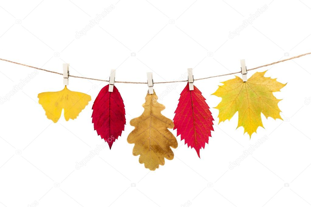 clothespins on the rope holding autumn leaves on a white backgro