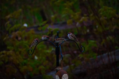 Common house sparrows and great tits on a garden birdfeeder. . High quality photo