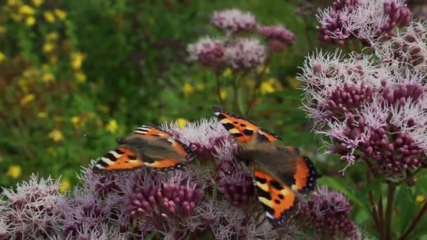 Két pillangó virágport keres egy lila oregánó növényen egy virágmezőn. Közelkép.