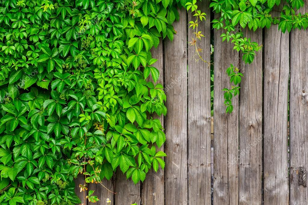 Ein Zaun Aus Holz Mit Wilde Trauben Geschweiften Efeu Stockfoto