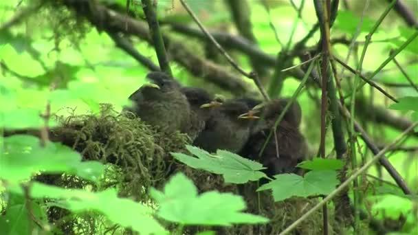 Baby Zaunkonige Warten Mutter Im Nest Stockvideo C Rickray 79371112