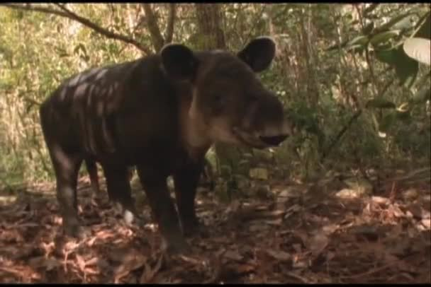 Brazilian tapir in the Amazon rain forest