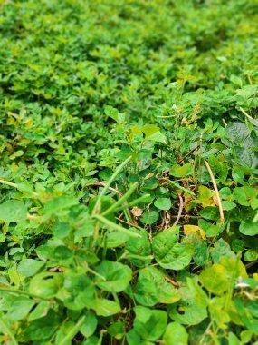 Yardlong bean in the garden, Cowpea plants in growth at vegetable garden