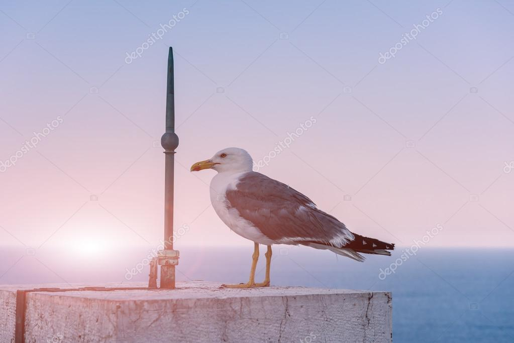 Seagull in soft pink sunset light