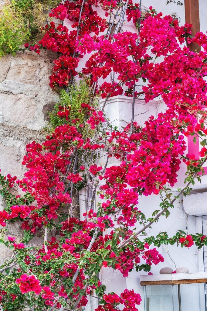 Traditional Greek village with bougainvillea flowers on Milos island, Greece