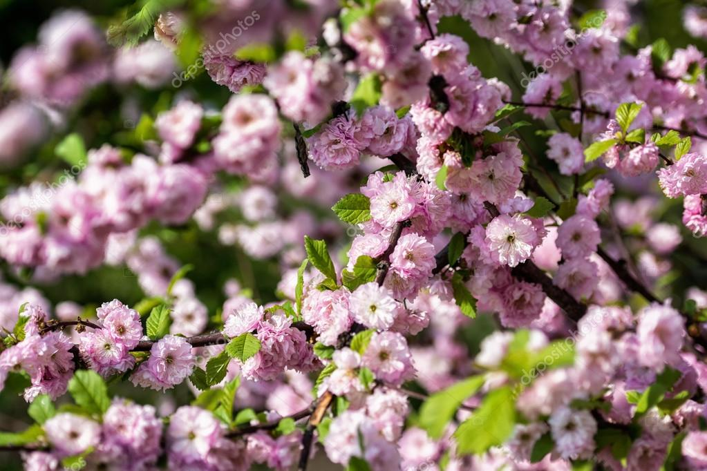 pink flowers of the cherry blossoms on a spring day in the park