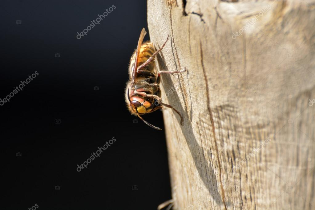 Hornet resting on a tree trunk