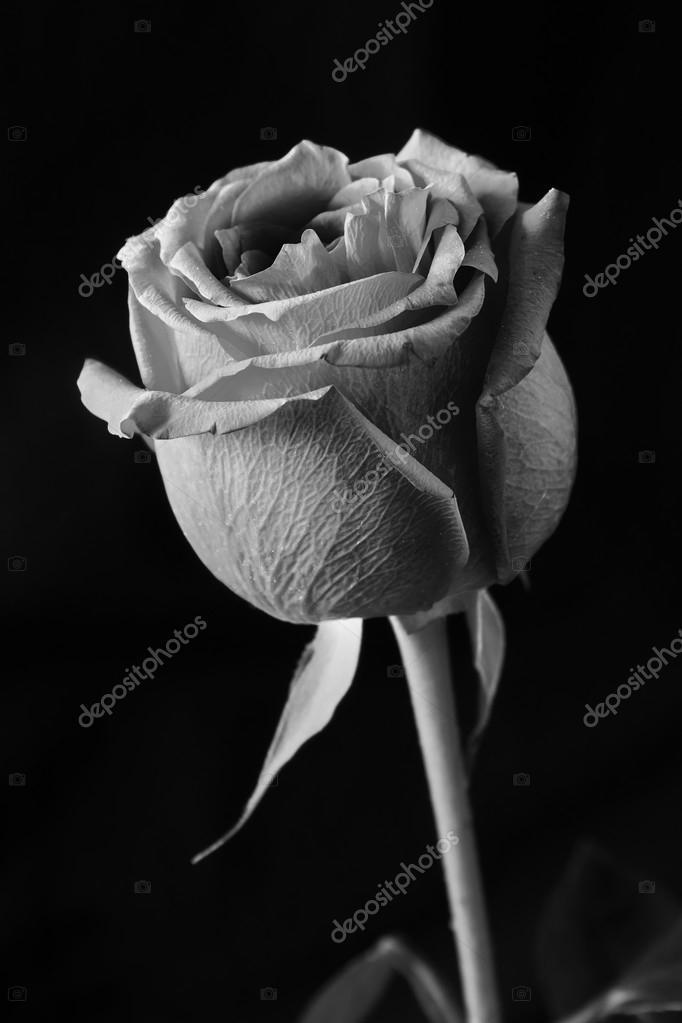 Rose Noir Et Blanc Photographie Rejchrt C 109844446