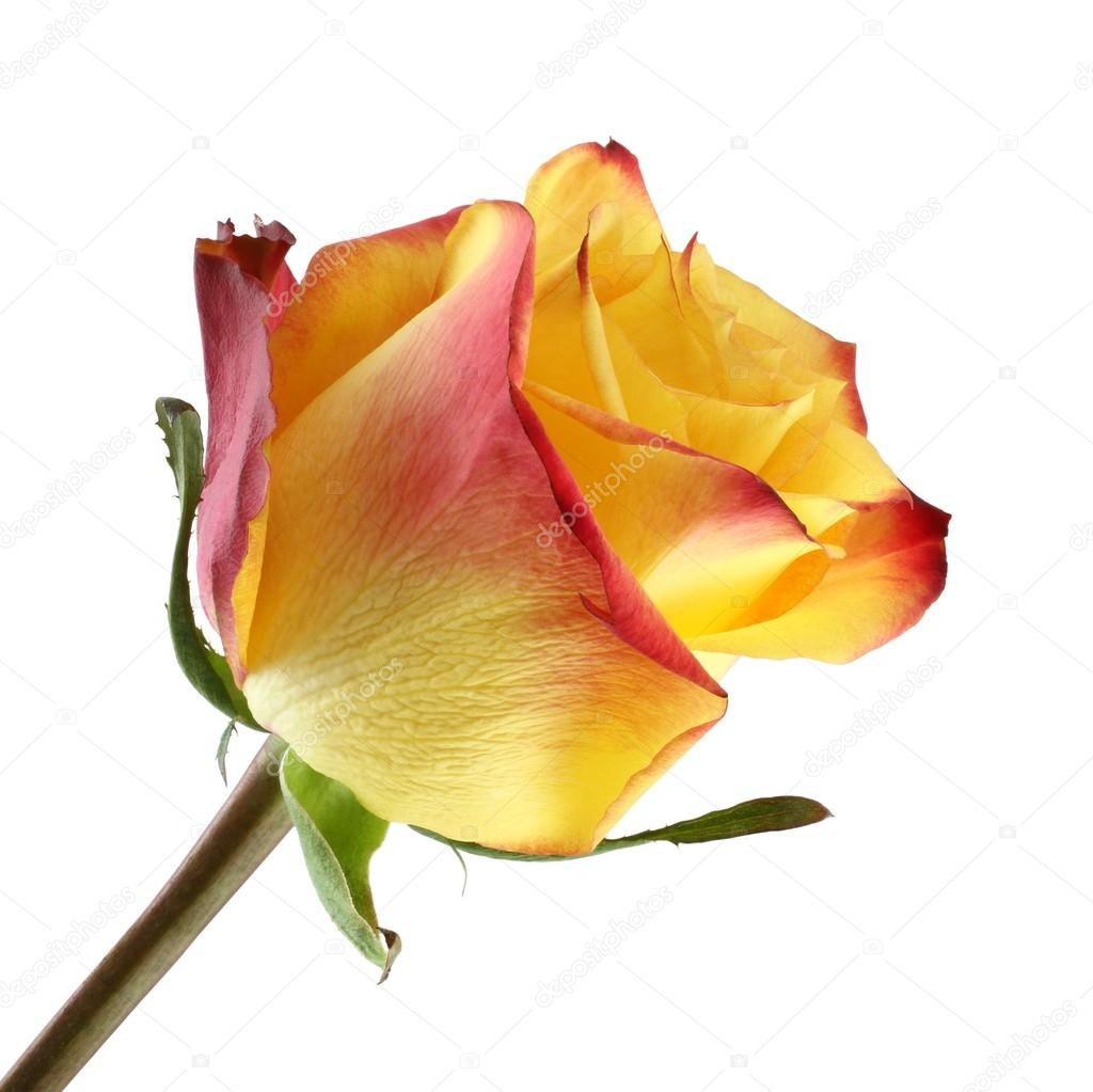 Yellow rose with red edges of petals on white background stock yellow rose with red edges of petals on white background stock photo mightylinksfo