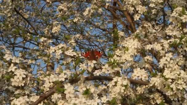 Motýl paví oko na strom kvetoucí třešeň