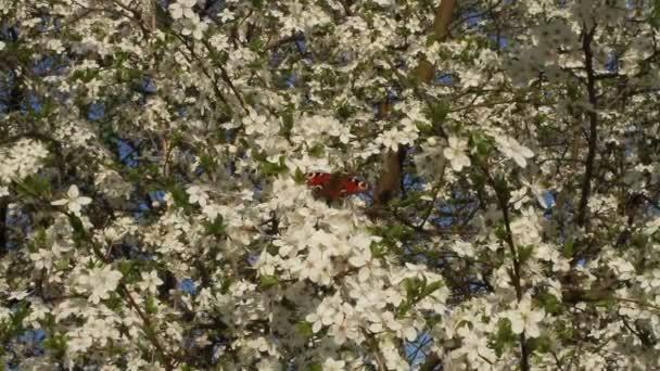 Pillangó a páva szeme a virágzó cseresznye fa
