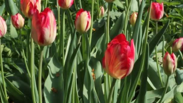 Vörös tulipán, zöld fű ellen自然なパターンの背景を持つ白いウッド テクスチャ