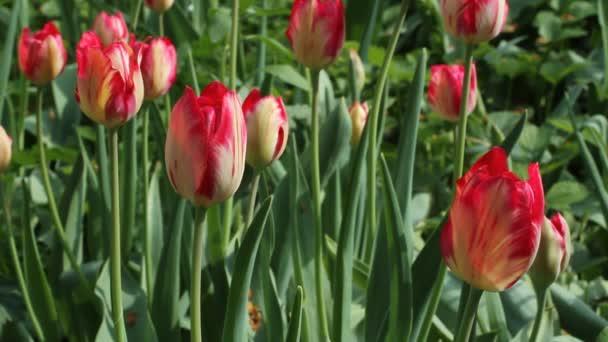 Červené tulipány proti zelené trávy