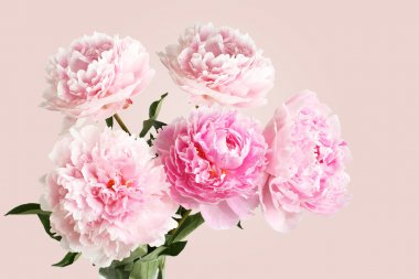 Bouquet of pink peonies on light pink background