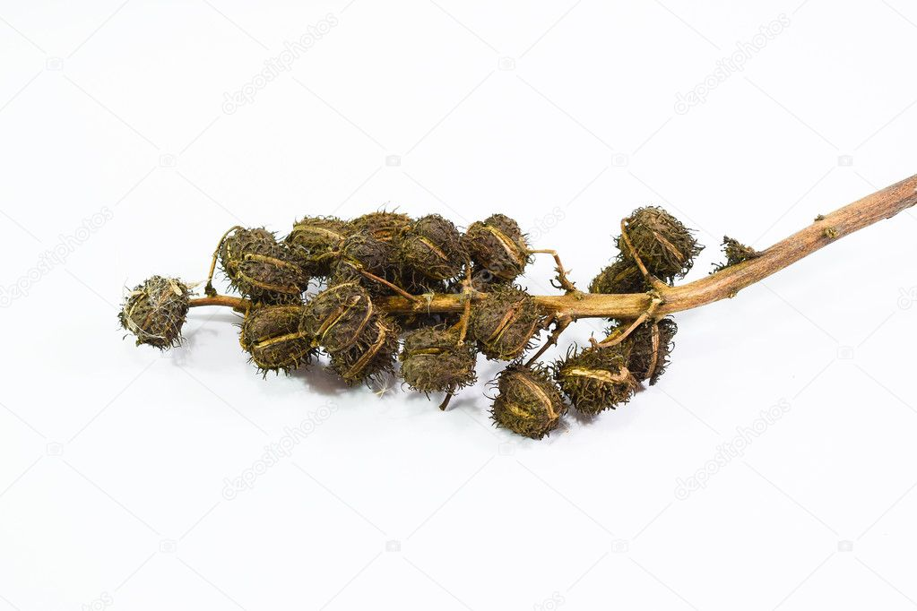 Castor seeds on a white background. The plant is used to make castor oil.