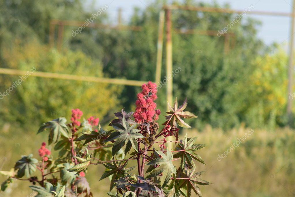 Castor seeds on the stem. The vegetative part of the castor bean plant.
