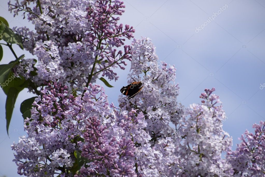 Lilac flowers on the branches of a butterfly admiral. Insect pollinators.