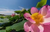 der See der Lotusblumen