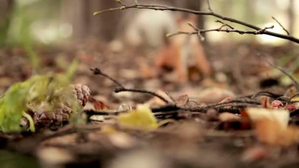 Veverky rozpustilost v podzimním lese, sekvence