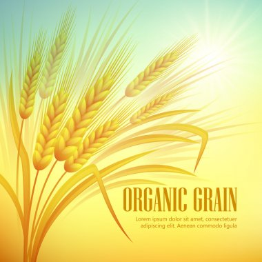 Wheat field  background. Vector illustration