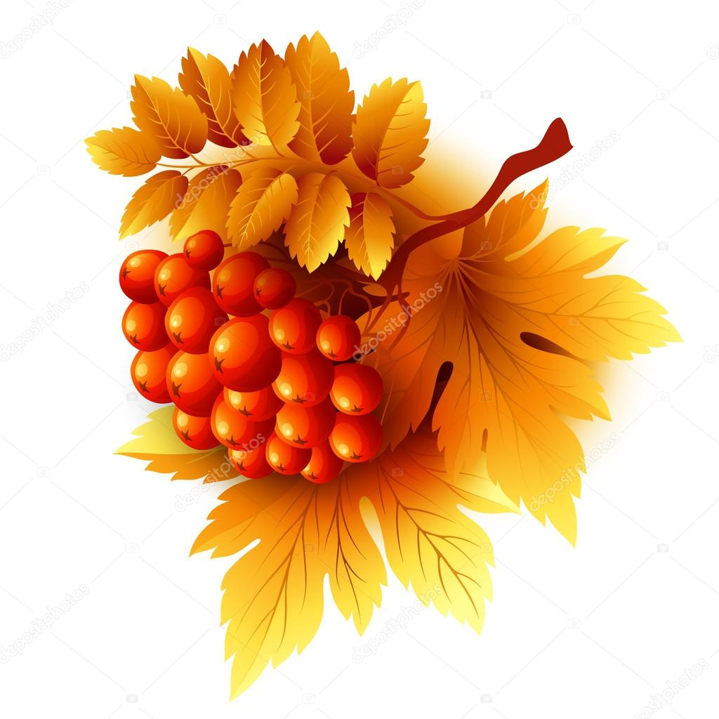 Rowan branches with orange leaves and berries. Vector fall illustration