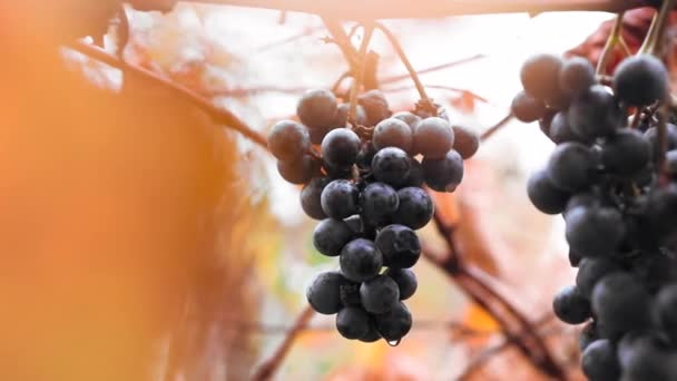 Bunch of grapes with water drops in autumn morning