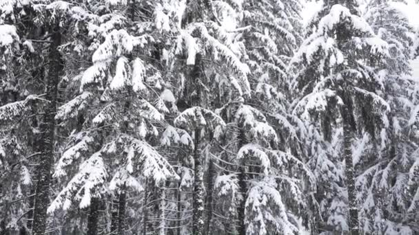 Snowing in the pine forest in mountain during winter